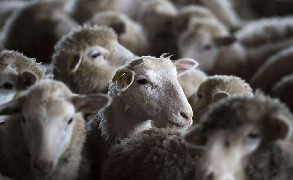 Разведение овец: отбор животных по резистентности