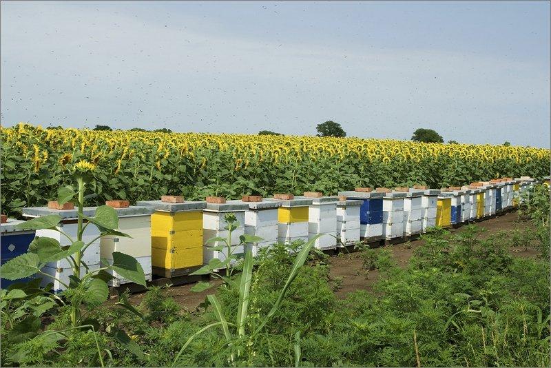 поздравить картинки пасека пчелы в поле подсолнухов десен воспаление или